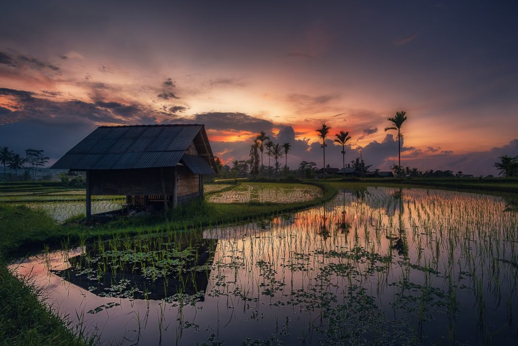 Morning At The Rice Fields